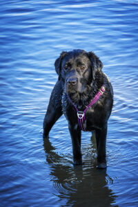 Rose in het hondenzwembad bij het Streekbos