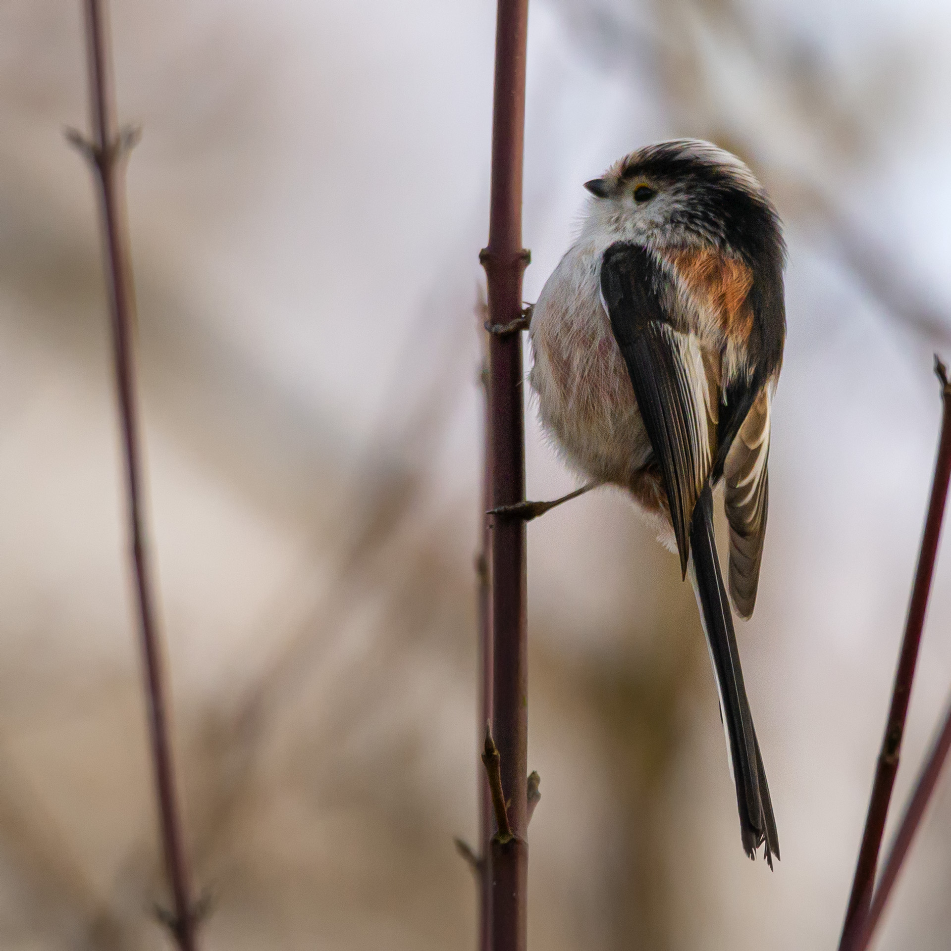 Staartmees (Long-tailed Tit, Aegithalos caudatus)