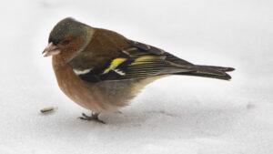 Vink (Common Chaffinch, Fringilla coelebs)