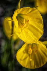 Oxford Gold, hoepelroknarcis